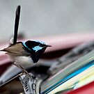 Superb Fairy Wren  (Malurus cyaneus) and my Car 2 by Normf