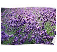 Lavender, Grosvenor Park, Chester, uk. Poster