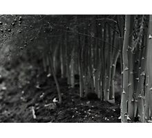 asparagus woods Photographic Print