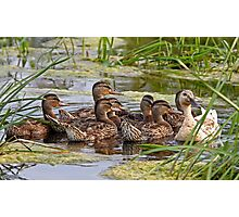 Momma duck and her kids Photographic Print