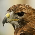 Red Tail Buzzard, Buteo jamaicensis by Nik Taylor