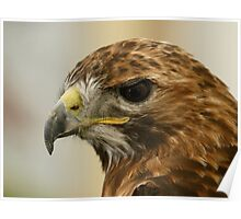 Red Tail Buzzard, Buteo jamaicensis Poster