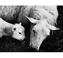 to dream of sheep - synchronicity  Photographic Print