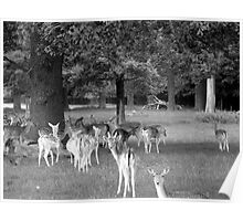 Richmond Park Deer Poster