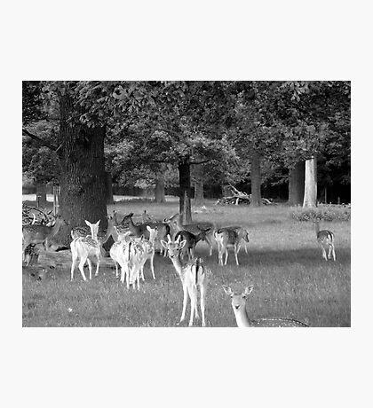 Richmond Park Deer Photographic Print