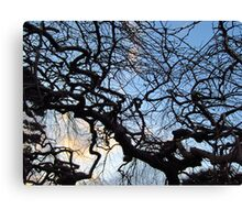 Camperdown Elm. Back lit. Canvas Print