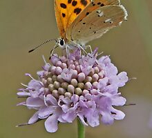 a female Scarce Copper nectaring by Hugh J Griffiths
