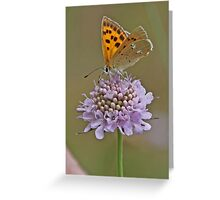 a female Scarce Copper nectaring Greeting Card