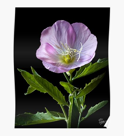 Mexican Evening Primrose Poster