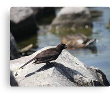 Posing Shore Bird Canvas Print