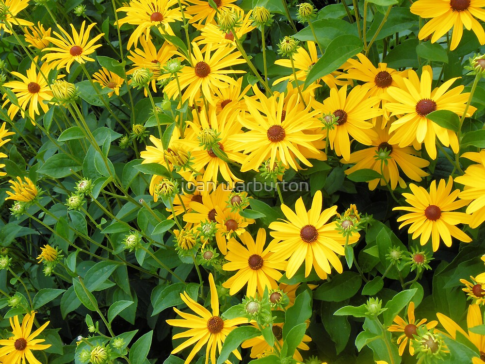 Yellow Daisies by joan warburton