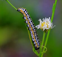 Caterpillar by Sharon Batdorf