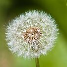 Plant, Dandelion, Taraxacum officinale, seed head by Hugh McKean