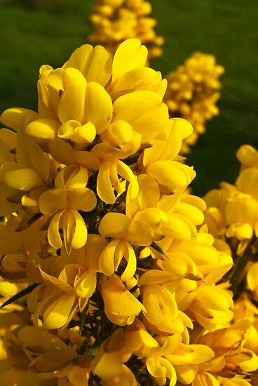 Plant, Gorse,Flowers, Yellow by Hugh McKean