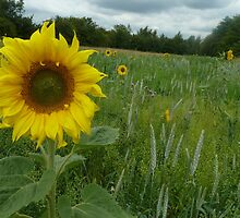 Sunflower  (disambiguation) by Elaine123