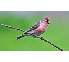 Lesser Redpoll Photographic Print