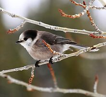 Grey Jays for Grey Days... by EchoNorth