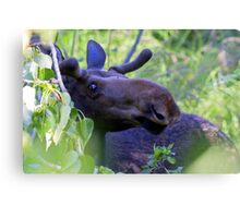 Young bull moose in the woods Canvas Print