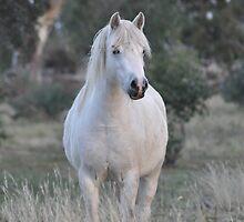 Grey Welsh Mountain Pony Mare by fenwickstud