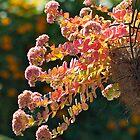 Sedum in full bloom. by johnrf