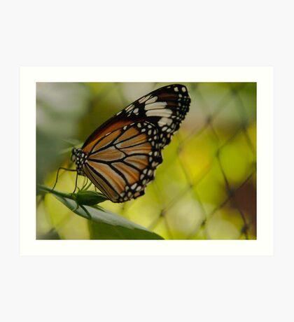 Monarch Butterfly  Art Print