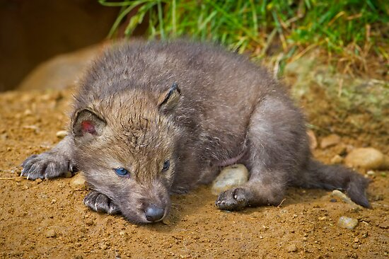 Blue Eyed Pup by Daniel  Parent