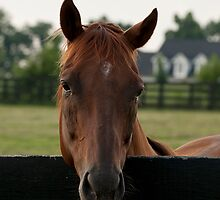 Commentator - Old Friend's Equine by Tracey  Dryka
