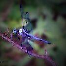Beautiful Blue Dragonfly  by ldermid75