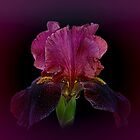 The Red Iris by EbyArts