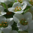 Sweet Alyssum by Gabrielle  Lees
