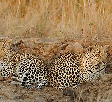 Leopards relaxing by Kevin Jeffery