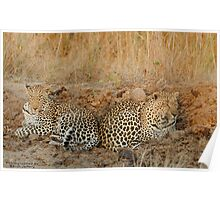 Leopards relaxing Poster