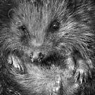 Mr Hedgehog by geoff curtis