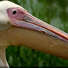 Pelican Close up at Fort Wayne Childrens Zoo by mikrin
