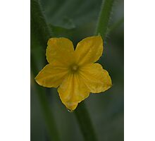 Cucumber Blossom Photographic Print