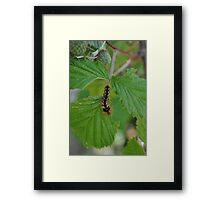 Creepy crawly caterpillar Framed Print