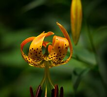 Turk's Cap Lily by LeeAnne Emrick
