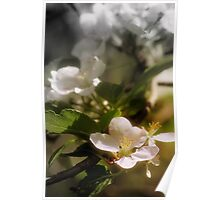 apple blossoms 7 Poster