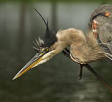 Great Blue Scratch by Wayne Wood