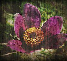Pasque Flower by Denise Abé