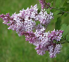 Lilac by Kathi Arnell