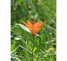 Wood Lily Photographic Print