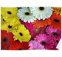 Colorful gerber flowers Poster