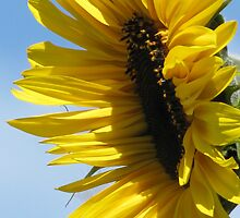 Sunflower by Kathi Arnell