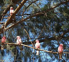 Galahs in a tree by DashTravels