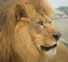 Lion at Milwaukee Zoo by rainbowdelight