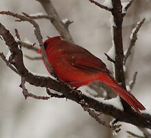 Cardinal Up Close and Comfortable by Sherry Hallemeier