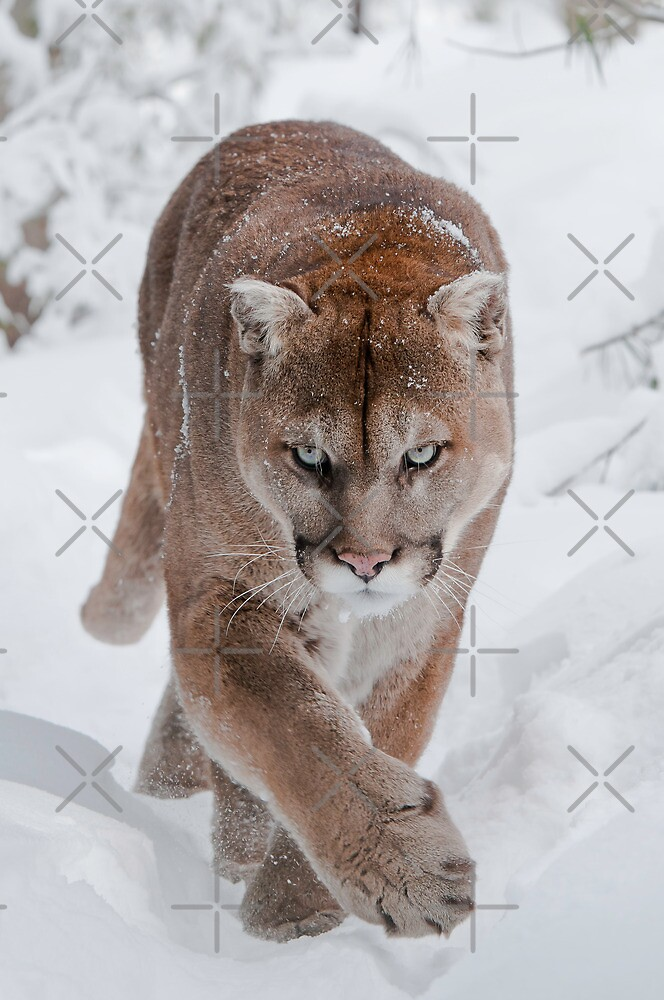 Cougar in Snow by (Tallow) Dave  Van de Laar