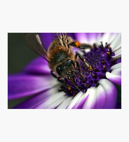 Bee in the midst ~ Photographic Print