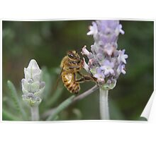 Bee on the Lavender Poster